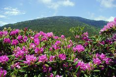 Roan Mountain, Tennessee Rhododendron Festival