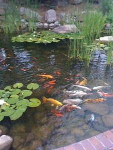 I did love the koi pond at the last house we bid on--but I don't think I want to put one in at a house that doesn't already have it.  But the sound of tinkling water!  The splash of the fishies!  It is so relaxing...