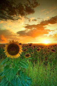 Sunflower field with sun at horizon. HDR shot.
