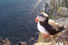 A puffin in West Iceland. Image by Mr Hicks46 / CC BY-SA 2.0