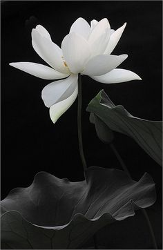 Black and white flower.