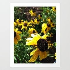 black eye susans Art Print by Cindy Munroe Photography - $15.60
