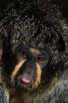 Female White Faced Saki Monkey
