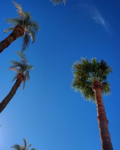 тнɍσшвѧcƙ тнυɍѕѧу The warm weather today has me reminiscing about palm trees!  #sunshine #palmtrees #sunnyday #palmtreelove #palmtreeseverywhere #bluesky #palmtreesfordays #blueskies #california #america #usa #exploretocreate #vacay #greatnorthcollective #liveauthentic #adventurethatislife #exploremore #thegreatoutdoors #stayandwander #outbackcollective #travelstoke #lifeofadventure #neverstopexploring #keepitwild #earthfocus #theoutbound #wildernessculture #theadventureproject#travel…