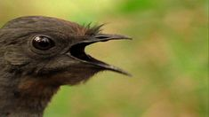 World's Weirdest: Freaks of the Sky : SUN OCT 14 at 4P et/pt : http://animals.nationalgeographic.com This songbird breaks out the sampler to get a mate. And ...