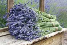 #karabaşotu Lavender Hedge, Lavender Varieties, Lavender Flowers, Lavender Fields, Lavender Cottage, Floral Flowers, Lavender Benefits, Natural Bath Bombs, Vitis Vinifera