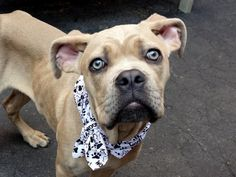 LUCA – A1040643 - - Manhattan  TO BE DESTROYED 06/23/15 A volunteer writes: Rounding out the quartet of fabulous dogs abandoned together, Miss Luca is the shyest of the group. Needing a little coaxing to come out of her kennel, once out she proved to be as affectionate and schmushy as all of them, and equally as good looking. Like the others, she's emaciated and is being fed an additional meal daily to help put some meat on those gorgeous bones. Her coat is as soft