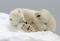 Polar bear asleep on an iceberg in Svalbard, taken by professional wildlife photographer Andy Rouse. 2014