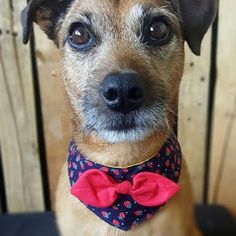 Dog Bandana Collar. Navy with cute strawberry print Perfect for girl dogs