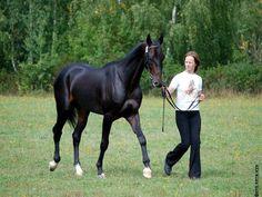 Tykma Serdar   Akhal-Teke Stallion