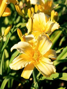 'Mary Todd'  A popular variety among daylily experts, 'Mary Todd' offers large, ruffled, golden-yellow blooms early in the summer.  Bloom sea...