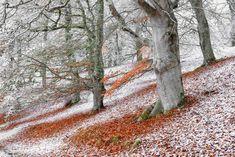 British Wildlife Photography Awards 2018 - In pictures Winner: Wild woods Seasonal Overlap (European Beech), Aviemore, Highlands, Scotland Photography Awards, Photography Projects, Wildlife Photography, Amazing Photography, Landscape Photography, Cairngorms, Richmond Park, British Wildlife, Parc National