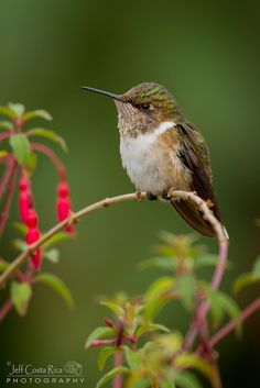 Volcano Hummingbird | by Jeffrey Muñoz