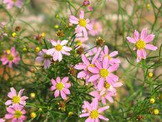 Coreopsis verticillata - 'Rosea'