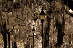 Spanish Moss Oak Trees and Street Lamps
