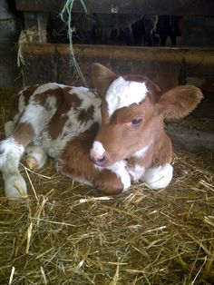 Baby cow is sooooooooooooo cute!!!!!!!!!!!!!!!!!!!!!!!!!!!!!!