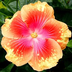 Tropical Hibiscus - 'Summer Fun' 7 to 9 inch multicolored blooms