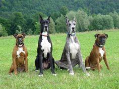 Boxer & Great Dane