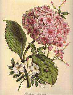 Vintage Botanical Print, 1940s, Flower Print to Frame, Home and Garden, Hydrangeas and Jasmine No. 10. $12.00, via Etsy.