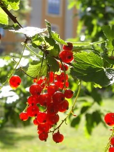"""Red currants are often found in Swedish gardens. The berries can be eaten as they are or used for desserts, jelly, cordials and jam. From the blades, wine can be produced, and that's where the Swedish name of the berry comes from - """"vinbär"""" meaning wine-berries. Photo By: Cristina Cannone. Tags: #berries #swedish food"""