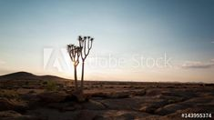 Stock Footage of Static timelapse at sunrise of a silhouette quiver tree with a few scattered clouds moving through in a dry, barren and rocky landscape in the Namib Naukluft Park, Namibia available on request. Explore similar videos at Adobe Stock Quiver, Stock Video, Stock Footage, Adobe, Sunrise, Trees, African, Silhouette, Clouds