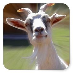 Silly Billy Goat Photograph Stickers #billygoats #goats #funny #stickers #photography And www.zazzle.com/naturesmiles*