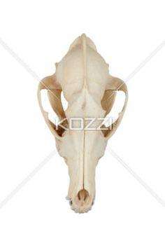 animal skull - Close-up shot of animal skull on white background