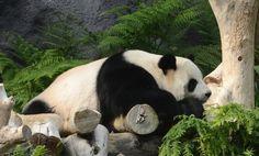 Panda Bear named Xin Xin in Macaus Panda Pavillon #Macau #Panda #Bear #Animals #China