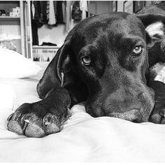 Shadow the Black Labrador #StopYulin2015