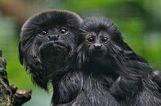 Goeldi's Marmoset & Young Beautiful Creatures, Animals Beautiful, Marmoset Monkey, Mother And Baby Animals, New World Monkey, Monkey See Monkey Do, Baboon, Rare Animals, Melanism