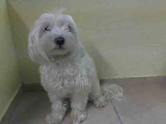 TO BE DESTROYED 8/25/14 Manhattan Center   My name is PEBBLES. My Animal ID # is A1011590. I am a spayed female white maltese mix. The shelter thinks I am about 3 YEARS old.  I came in the shelter as a OWNER SUR on 08/22/2014 from NY 11223, owner surrender reason stated was PET HEALTH.   https://www.facebook.com/Urgentdeathrowdogs/photos/a.611290788883804.1073741851.152876678058553/859246907421523/?type=3&theater