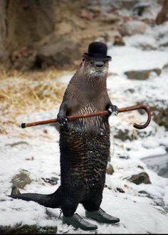 Dancing Otter! He turns up at the bottom of my garden and does shows. True story. #NoPhotoshop #nofilter