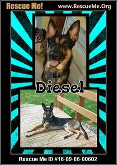 ― Wisconsin German Shepherd Rescue ― ADOPTIONS  Diesel (male) German Shepherd    Age: Puppy  ―RescueMe.Org