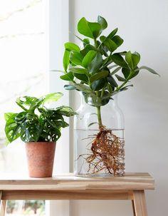 Neuester Trend: Anthurie Im Wasser!: Für Mehr Tipps Zum Garten Und Pflanzen  Schauen