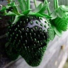 Black+Strawberry+Seeds+Fruit+Seeds+100+Seeds+db