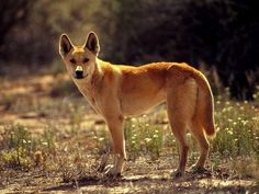 No, not a wolf, a dingo.