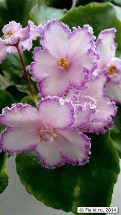 Violetas ...