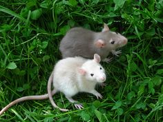 Adorable baby ratties!