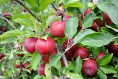 Country Apple Orchard Apple Orchard, Sioux, South Dakota, Fruit, Country, Rural Area, Country Music
