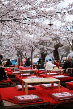 Eat, drink, and take in the beauty of the cherry blossoms (Sakura) in full bloom - Hanami