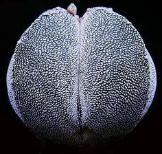 Astrophytum 'Onzuka'