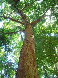 Pau-brasil no meio da Mata Atlântica – árvore rara achada na cidade do Rio de…
