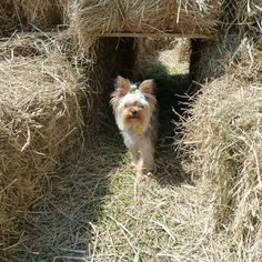 115 Best Boo The Yorkie Images On Pinterest Yorkie Yorkies And