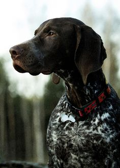 Some of the things I admire about the Curious German Shorthaired Pointer Puppies Gsp Puppies, Pointer Puppies, Pointer Dog, German Dogs, German Shepherd Dogs, German Dog Breeds, German Shorthaired Pointer Black, Mundo Animal, Hunting Dogs