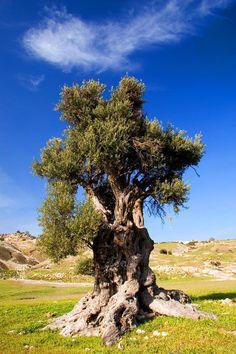 Cyprus Olive Tree