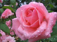 薔薇#バラ#rose#flower | fonds d'Écrans | pinterest | best