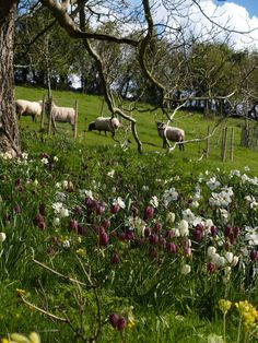 Hanham Court Gardens in the Spring! Oh, the flowers on the hillside with lambies in the backdrop has got to be heaven here on earth...