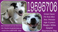 Gone but NOT forgotten- URGENT!! Urgent Animals at Fort Worth Animal Care and Control **Fort Worth, TX**CURRENT STATUS: Must be tagged for adoption or rescue by 9am on 02/28/14** Reason for URGENT STATUS: Upper Respiratory Infection  Animal ID: 19595706 Name: Ariah Breed: Great Dane/Pit Bull Mix Sex: Female Age: 2 years Weight: 85lbs Spayed Heartworm Negative https://www.facebook.com/photo.php?fbid=623057284433036