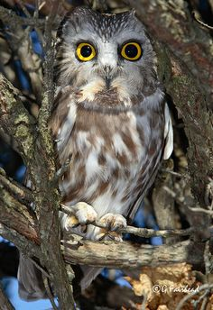 Eight Inches Tall / Norrthern Sawhet Owl