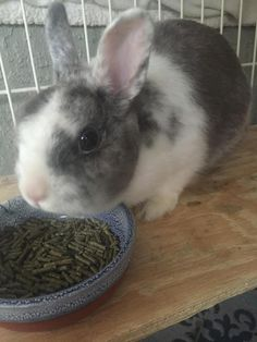 Panda is an adoptable Netherland Dwarf searching for a forever family near Naples, FL. Use Petfinder to find adoptable pets in your area.